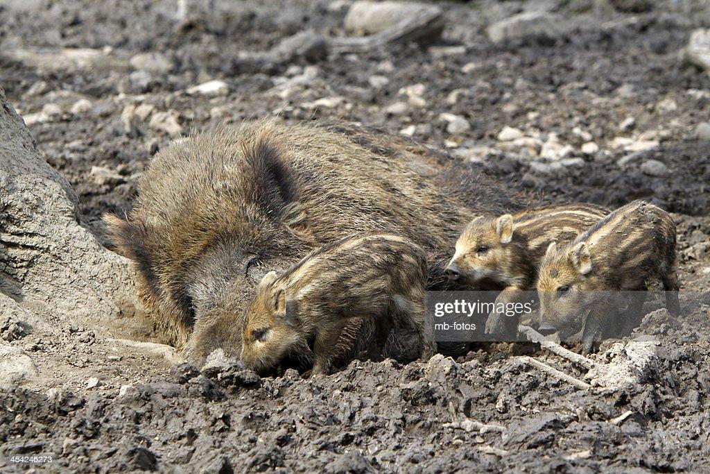 Wild boar family : Stock Photo