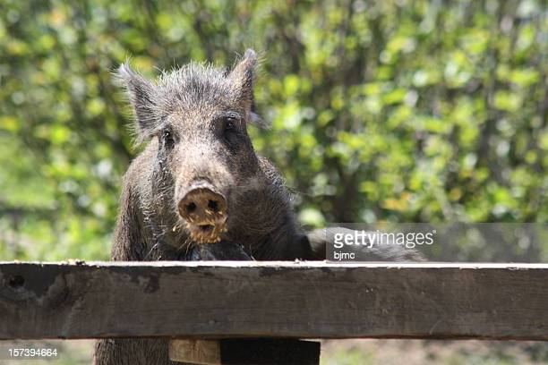 wild boar feeding - wild hog stock photos and pictures
