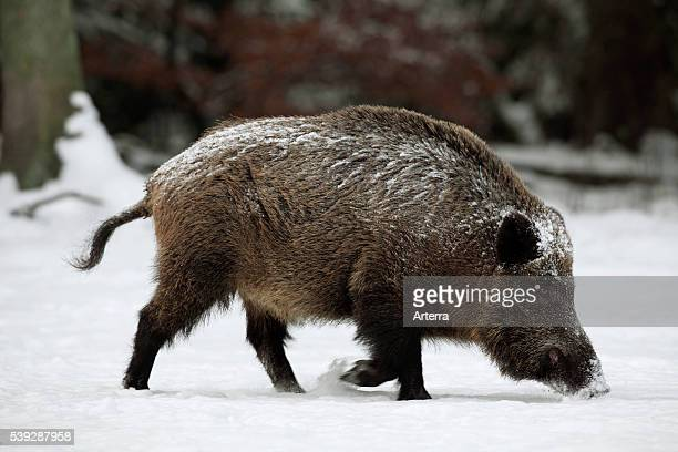 Wild boar foraging for food in forest the snow in winter Germany