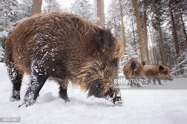 wild boar in einer reihe - wildschwein stock-fotos und bilder