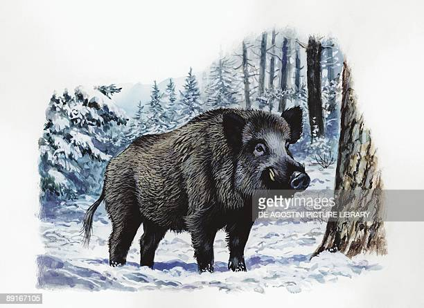 Wild Boar in forest illustration