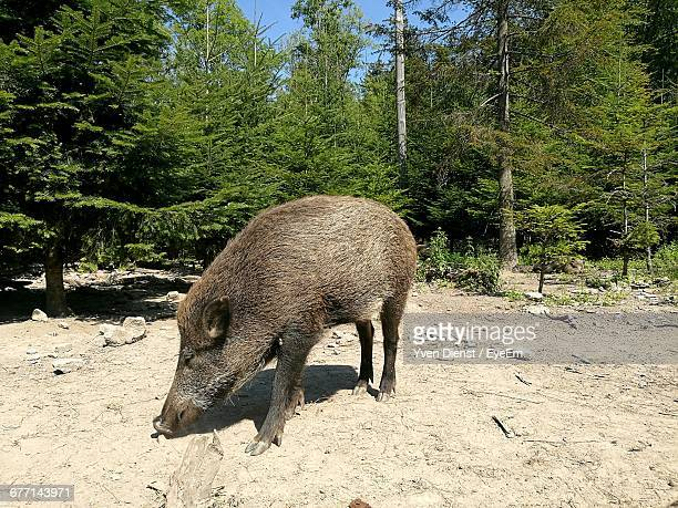 Wild Boar In Forest On Sunny Day