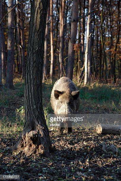 wild boar in forest - wild hog stock photos and pictures