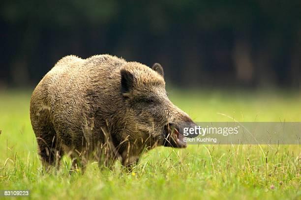 wild boar (sus scorfa) in grass - wildschwein stock-fotos und bilder