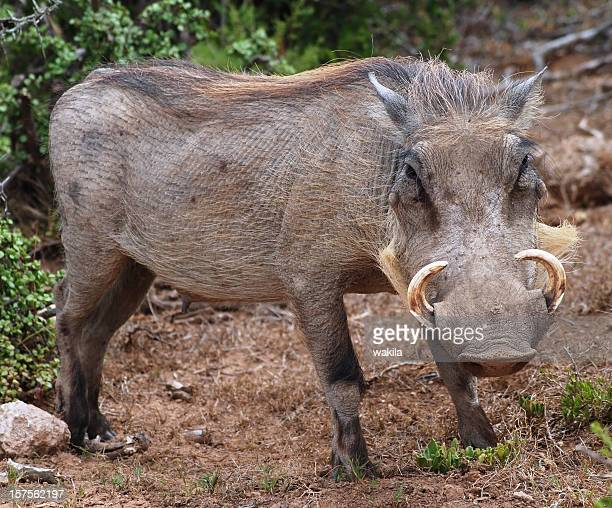 wild boar in nature africa - wildschwein afrika - ugly pig stock pictures, royalty-free photos & images