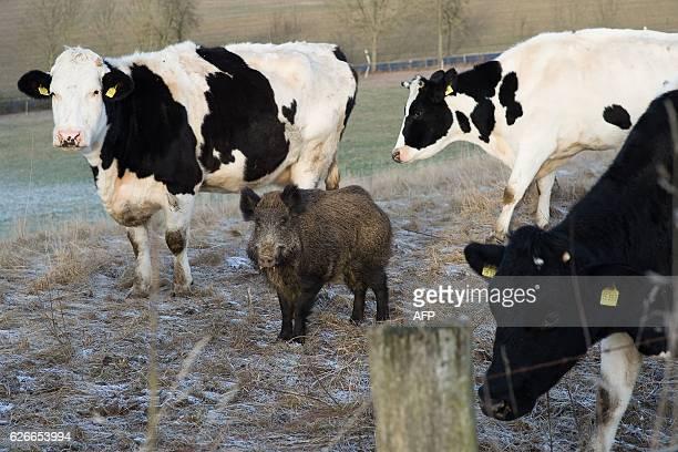 Wild boar Johann stands on a meadow with cattle in Meensen near Goettingen central Germany on November 30 2016 Johann seems to follow again the...