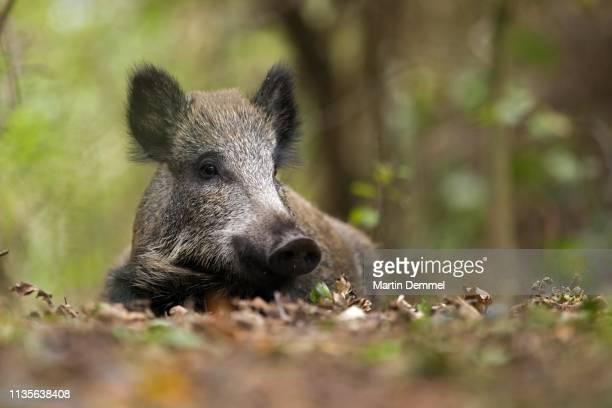 wild boar (sus scrofa) lies in oakleaves, prerow, germany - wildschwein stock-fotos und bilder