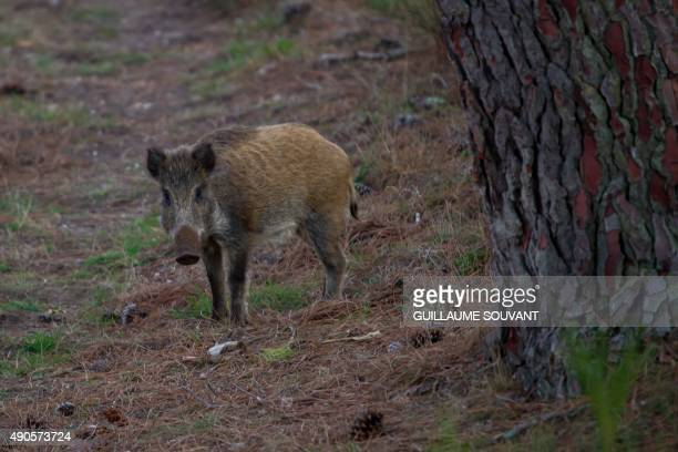 A wild boar looks on during the call of the deer inside the Chambord Estate Central France on September 29 2015 AFP PHOTO/GUILLAUME SOUVANT