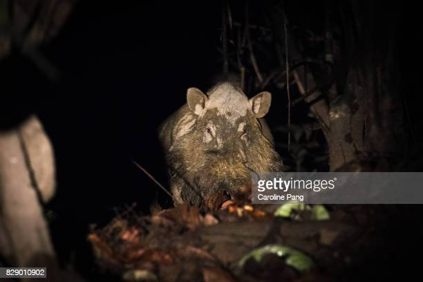Wild boar of Borneo.