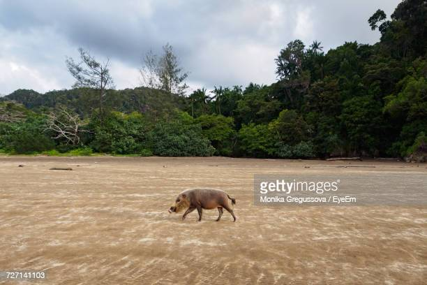wild boar on landscape against sky - monika gregussova stock pictures, royalty-free photos & images