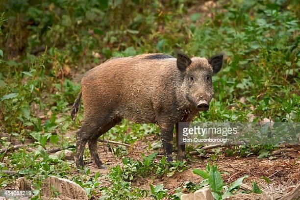Wild boar or wild pig (Sus scrofa)