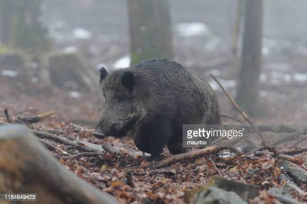 jabalí (sus scrofa) - animales salvajes fotografías e imágenes de stock