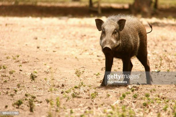 wild boar - wildschwein stock-fotos und bilder