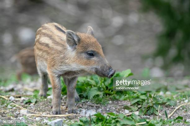 wild boar piglet, austrian alps, grunau im almtal, gmunden, austria - wild boar stock pictures, royalty-free photos & images
