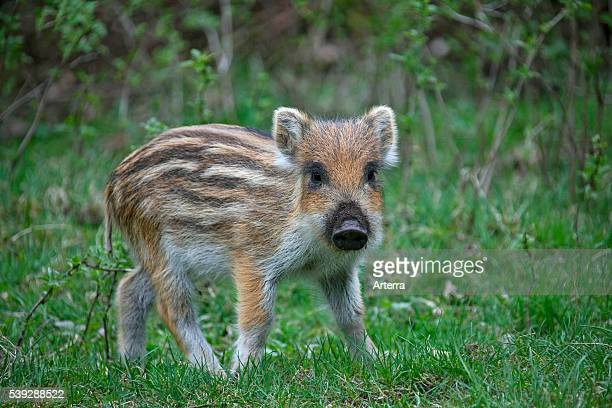 Wild boar piglet in forest in spring Germany