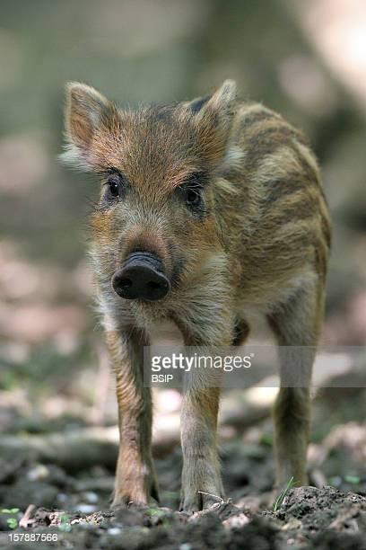 Wild Boar Piglet In Oise In Picardy FranceSus Scrofa Wild Boar Boar Suid Mammal