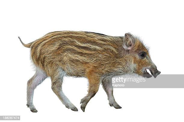 wild boar ferkel (sus scrofa - wildschwein stock-fotos und bilder