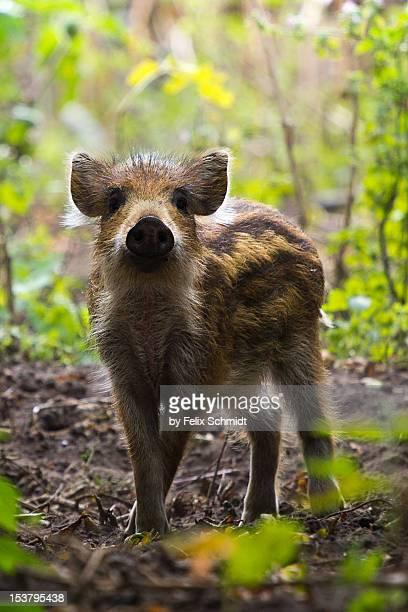 wild boar piglet - wildschwein stock-fotos und bilder