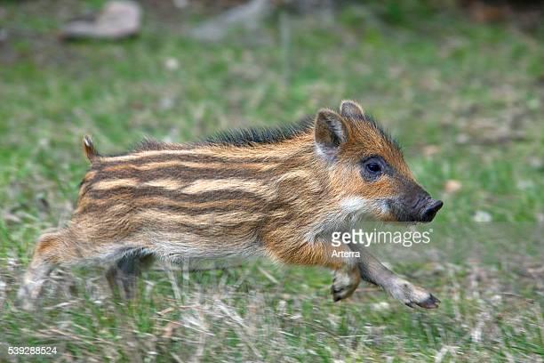 Wild boar piglet running in forest in spring Germany