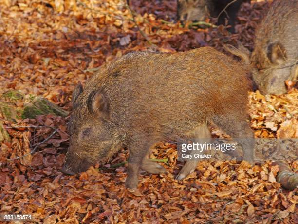 Wild Boar piglet [Sus scrofa]