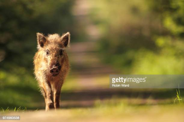 60 Top Wild Boar Pictures, Photos, & Images - Getty Images