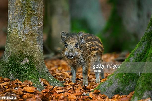 Wild boar piglet with striped coat in autumn forest in the Belgian Ardennes Belgium
