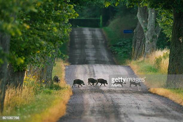 Wild boar piglets crossing a road in the countryside in summer