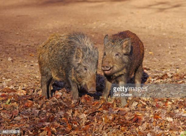 Wild Boar piglets [Sus scrofa]