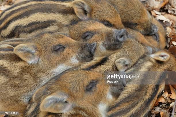 wild boar (sus scrofa), piglets warming each other, portrait, captive, north rhine-westphalia, germany - wildschwein stock-fotos und bilder