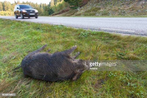 Wild boar roadkill after collision with speeding car