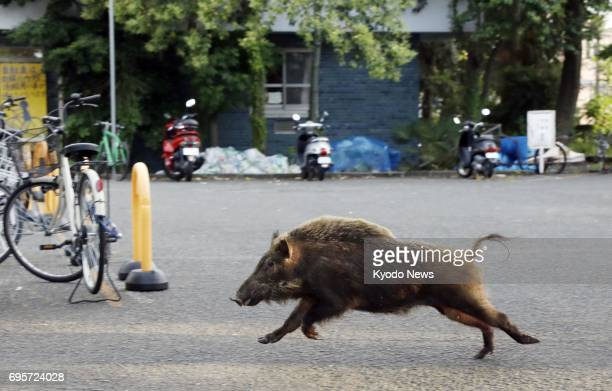 A wild boar runs through the grounds of a Kyoto University dormitory in the western Japan city of Kyoto on June 13 2017 The 1meter boar was caught...