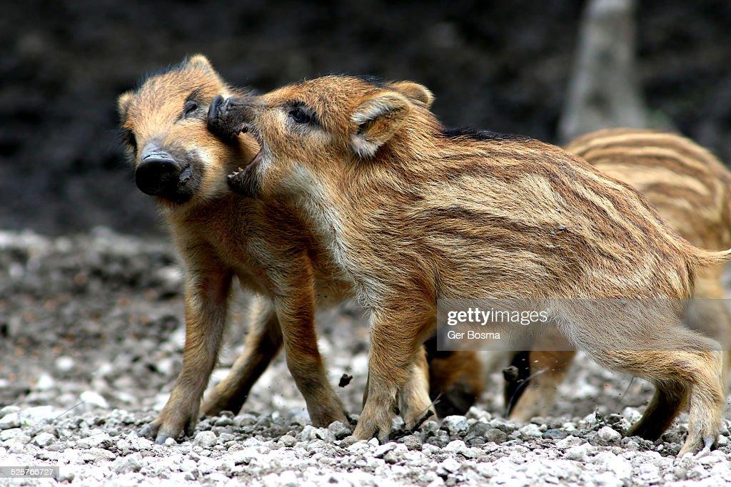Wild Boar Scuffle : Stock Photo