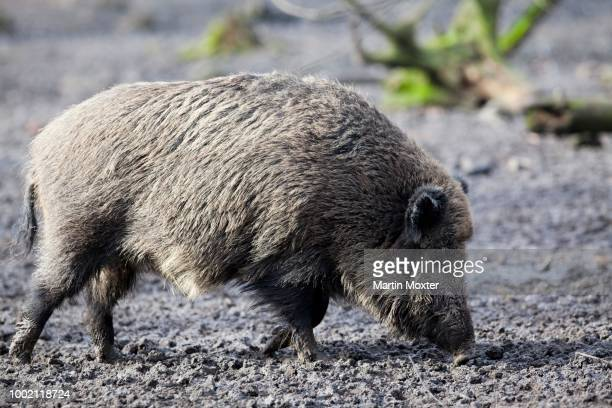 Wild boar (Sus scrofa) searching for food in mud, Hesse, Germany