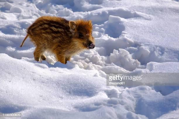 wild boar shote in snow - wildschwein stock-fotos und bilder