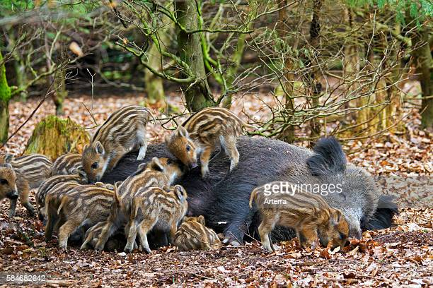 Wild boar sow suckling piglets in spring in brushwood Germany