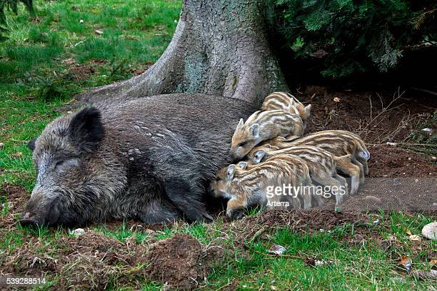 Wild boar sow suckling piglets in spring spring Germany