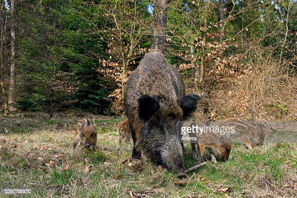 Wild boar sow with piglets foraging in forest in spring Germany