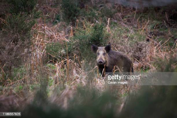 wild boar standing amidst plants on field - wild boar stock pictures, royalty-free photos & images