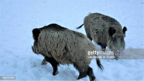 Wild Boar Standing On Snow Field During Winter