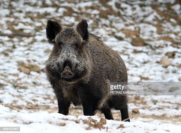 A wild boar stands in the forest in Varcia Alytus region Lithuania on February 2 2014 It's open season on wild boar after Vilnius ordered a record...
