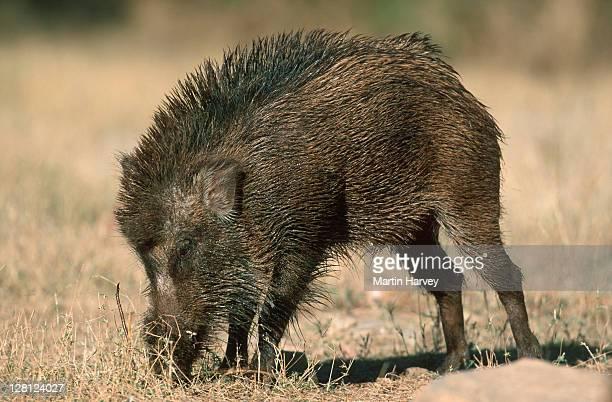 Wild boar. Sus scrofa cristatus. Grazing Ranthambhore National Park, Rajastan, India