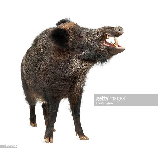 Wild boar - Sus scrofa (15 years old)