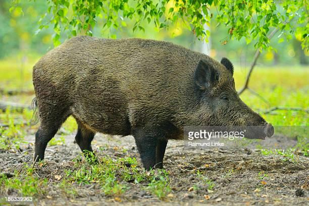 Wild boar, Sus scrofa