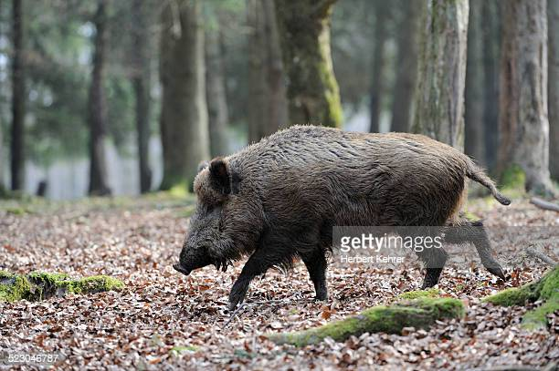 wild boar -sus scrofa- - wild hog stock photos and pictures