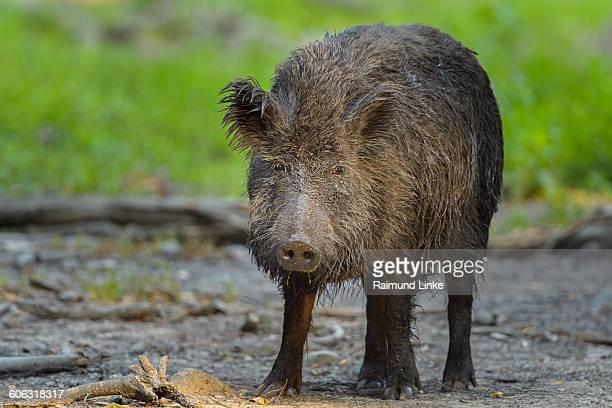 wild boar, sus scrofa - wildschwein stock-fotos und bilder