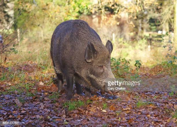 Wild Boar  [Sus scrofa]