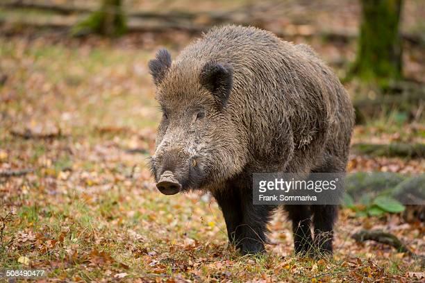 Wild Boar -Sus scrofa-, tusker, captive, Saxony, Germany