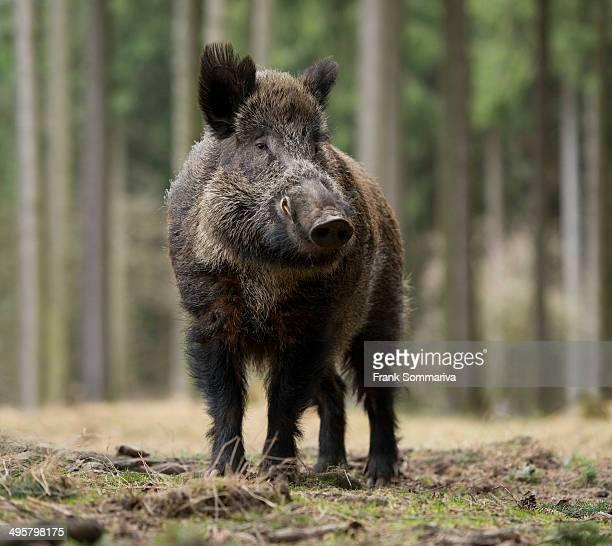 wild boar -sus scrofa-, tusker in winter coat, captive, saxony, germany - wildschwein stock-fotos und bilder