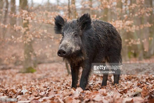wild boar -sus scrofa-, wild sow, captive, north rhine-westphalia, germany - wildschwein stock-fotos und bilder