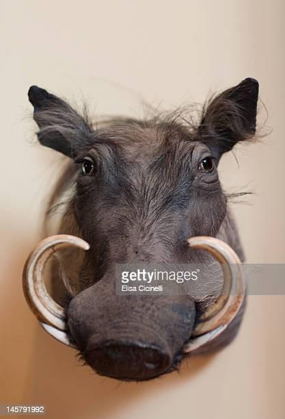 Wild boar taxidermy mount